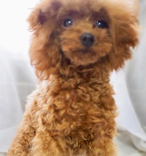 トイプードルの子犬(ID:1245611062)の1枚目の写真/更新日:2020-01-27