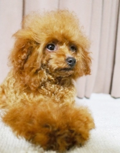 トイプードルの子犬(ID:1245611062)の3枚目の写真/更新日:2020-01-27