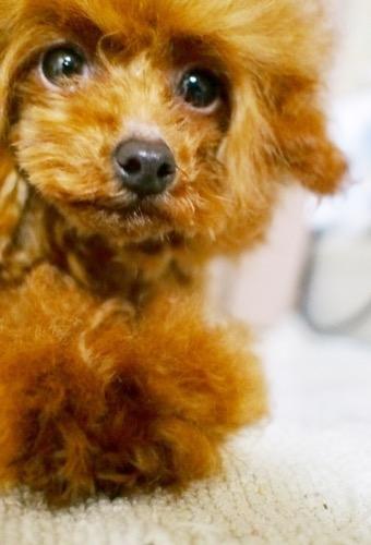 トイプードルの子犬(ID:1245611062)の4枚目の写真/更新日:2020-01-27