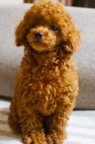 トイプードルの子犬(ID:1245611062)の5枚目の写真/更新日:2019-10-11