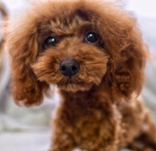 トイプードルの子犬(ID:1245611063)の1枚目の写真/更新日:2020-01-27