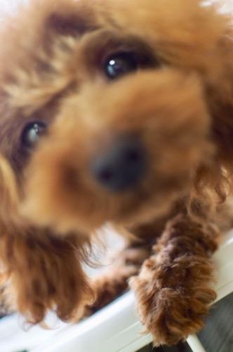 トイプードルの子犬(ID:1245611063)の2枚目の写真/更新日:2020-01-27