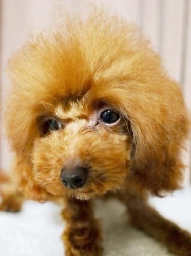 トイプードルの子犬(ID:1245611063)の3枚目の写真/更新日:2020-01-27