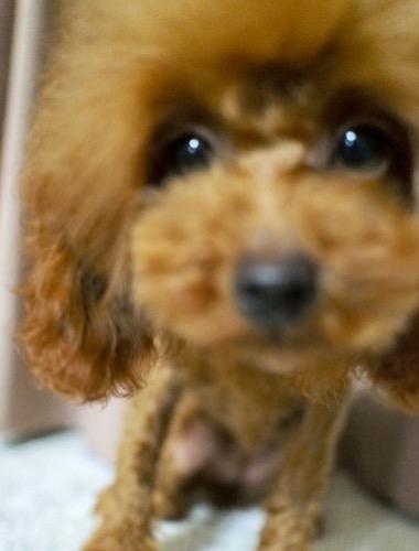 トイプードルの子犬(ID:1245611063)の4枚目の写真/更新日:2020-01-27