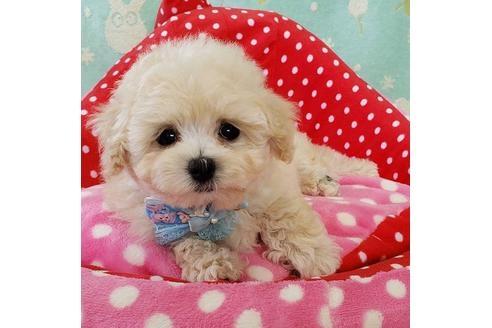 トイプードルの子犬(ID:1245711012)の1枚目の写真/更新日:2020-10-23