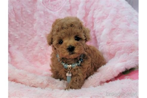 トイプードルの子犬(ID:1245711013)の1枚目の写真/更新日:2021-04-05
