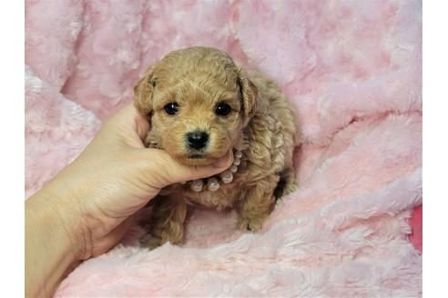 トイプードルの子犬(ID:1245711021)の1枚目の写真/更新日:2021-04-19