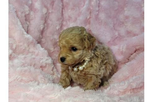 トイプードルの子犬(ID:1245711021)の2枚目の写真/更新日:2021-04-19