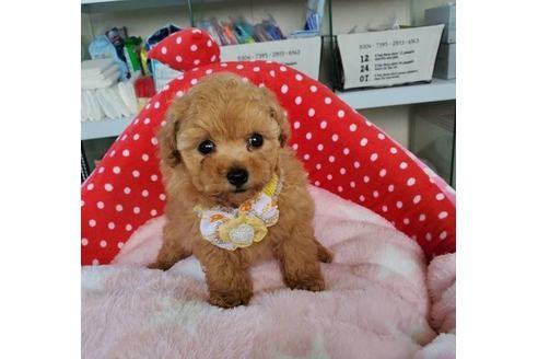 トイプードルの子犬(ID:1245711044)の1枚目の写真/更新日:2020-10-07