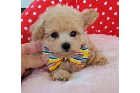 トイプードルの子犬(ID:1245711048)の1枚目の写真/更新日:2020-10-07