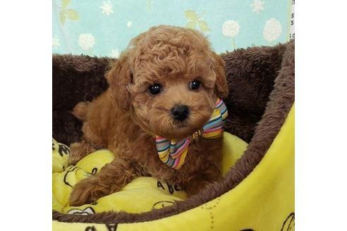 トイプードルの子犬(ID:1245711057)の1枚目の写真/更新日:2020-10-23