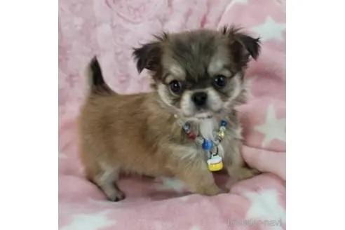 チワワ(ロング)の子犬(ID:1245711061)の1枚目の写真/更新日:2018-07-05