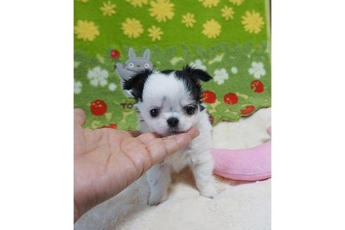 チワワ(ロング)の子犬(ID:1245711065)の2枚目の写真/更新日:2018-07-05