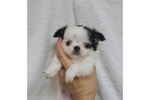 チワワ(ロング)の子犬(ID:1245711065)の4枚目の写真/更新日:2018-07-05