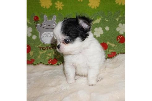 チワワ(ロング)の子犬(ID:1245711065)の5枚目の写真/更新日:2018-07-05
