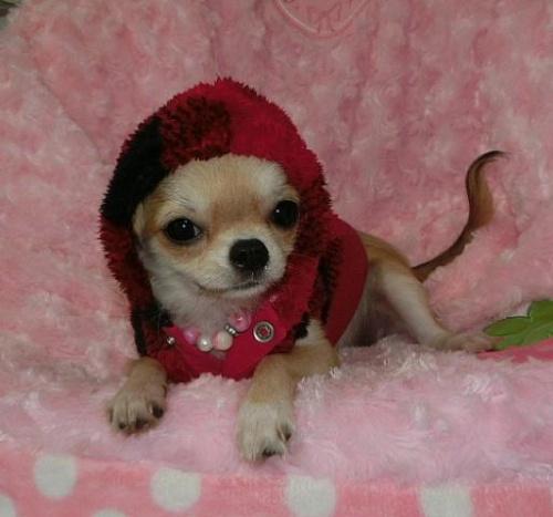 チワワ(ロング)の子犬(ID:1245711084)の1枚目の写真/更新日:2017-01-04