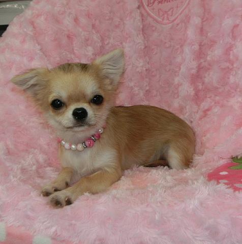 チワワ(ロング)の子犬(ID:1245711084)の4枚目の写真/更新日:2017-01-04