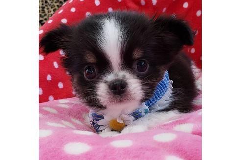 チワワ(ロング)の子犬(ID:1245711091)の1枚目の写真/更新日:2017-06-26