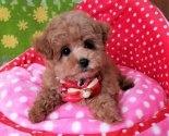 チワワ(ロング)の子犬(ID:1245711092)の2枚目の写真/更新日:2017-06-26