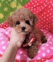 チワワ(ロング)の子犬(ID:1245711092)の3枚目の写真/更新日:2017-06-26