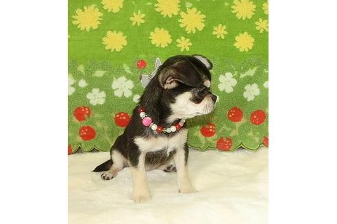 チワワ(スムース)の子犬(ID:1245711096)の3枚目の写真/更新日:2017-12-24
