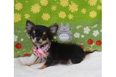 チワワ(ロング)の子犬(ID:1245711097)の1枚目の写真/更新日:2017-12-24