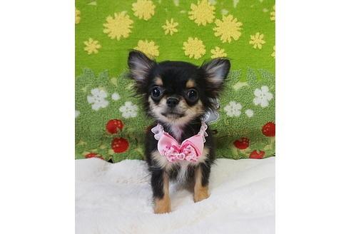 チワワ(ロング)の子犬(ID:1245711097)の2枚目の写真/更新日:2017-12-24