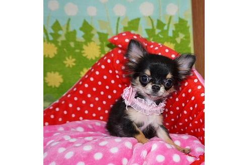 チワワ(ロング)の子犬(ID:1245711097)の3枚目の写真/更新日:2017-12-24