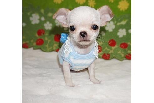 チワワ(スムース)の子犬(ID:1245711100)の1枚目の写真/更新日:2017-12-24