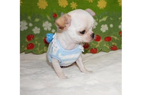 チワワ(スムース)の子犬(ID:1245711100)の2枚目の写真/更新日:2017-12-24