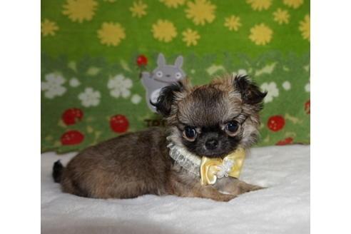 チワワ(ロング)の子犬(ID:1245711101)の1枚目の写真/更新日:2017-12-24