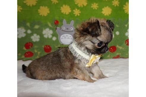 チワワ(ロング)の子犬(ID:1245711101)の2枚目の写真/更新日:2017-12-24