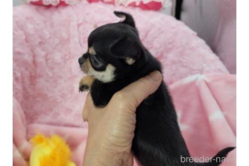 チワワ(スムース)の子犬(ID:1245711103)の3枚目の写真/更新日:2017-12-24