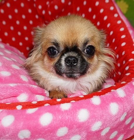 チワワ(ロング)の子犬(ID:1245711105)の1枚目の写真/更新日:2018-02-28