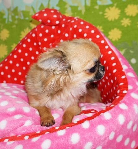 チワワ(ロング)の子犬(ID:1245711105)の2枚目の写真/更新日:2018-02-28