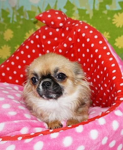 チワワ(ロング)の子犬(ID:1245711105)の3枚目の写真/更新日:2018-02-28