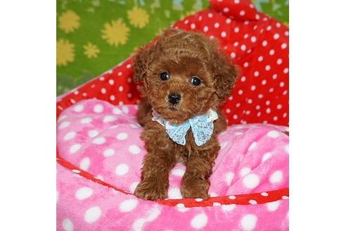 トイプードルの子犬(ID:1245711106)の1枚目の写真/更新日:2018-01-10