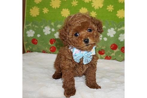 トイプードルの子犬(ID:1245711106)の2枚目の写真/更新日:2018-01-10