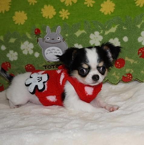 チワワ(ロング)の子犬(ID:1245711108)の1枚目の写真/更新日:2018-02-28