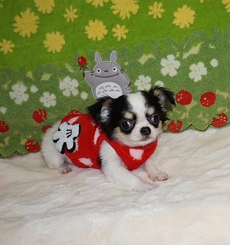 チワワ(ロング)の子犬(ID:1245711108)の3枚目の写真/更新日:2018-02-28