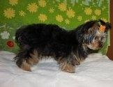 ヨークシャーテリアの子犬(ID:1245711109)の2枚目の写真/更新日:2018-02-15