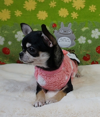 チワワ(スムース)の子犬(ID:1245711110)の2枚目の写真/更新日:2018-02-28