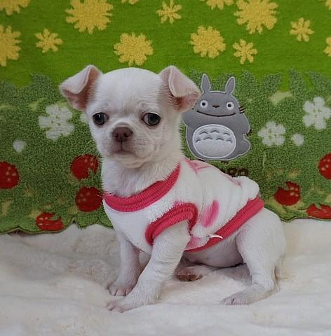チワワ(スムース)の子犬(ID:1245711111)の1枚目の写真/更新日:2018-03-05