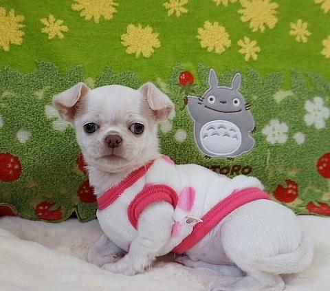 チワワ(スムース)の子犬(ID:1245711111)の2枚目の写真/更新日:2018-03-05