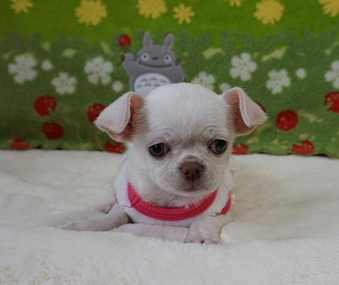 チワワ(スムース)の子犬(ID:1245711111)の3枚目の写真/更新日:2018-03-05