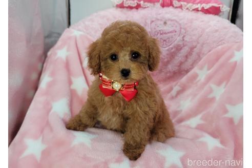 トイプードルの子犬(ID:1245711112)の1枚目の写真/更新日:2018-04-02