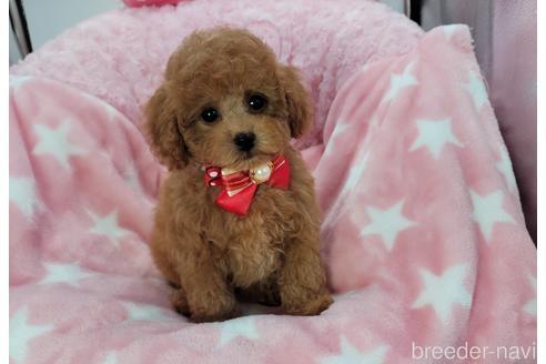 トイプードルの子犬(ID:1245711112)の2枚目の写真/更新日:2021-04-19