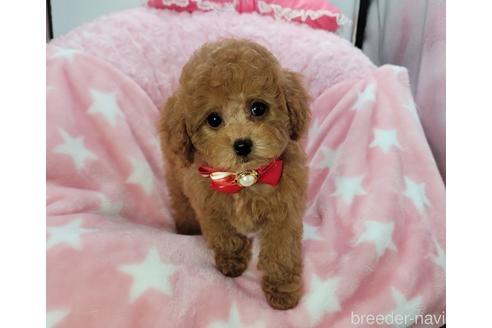 トイプードルの子犬(ID:1245711112)の3枚目の写真/更新日:2021-04-19