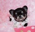 チワワ(ロング)の子犬(ID:1245711115)の1枚目の写真/更新日:2018-04-02