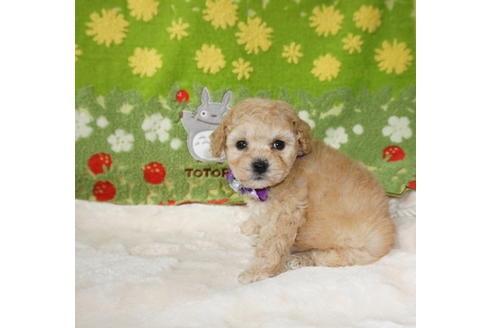 トイプードルの子犬(ID:1245711116)の2枚目の写真/更新日:2018-04-18